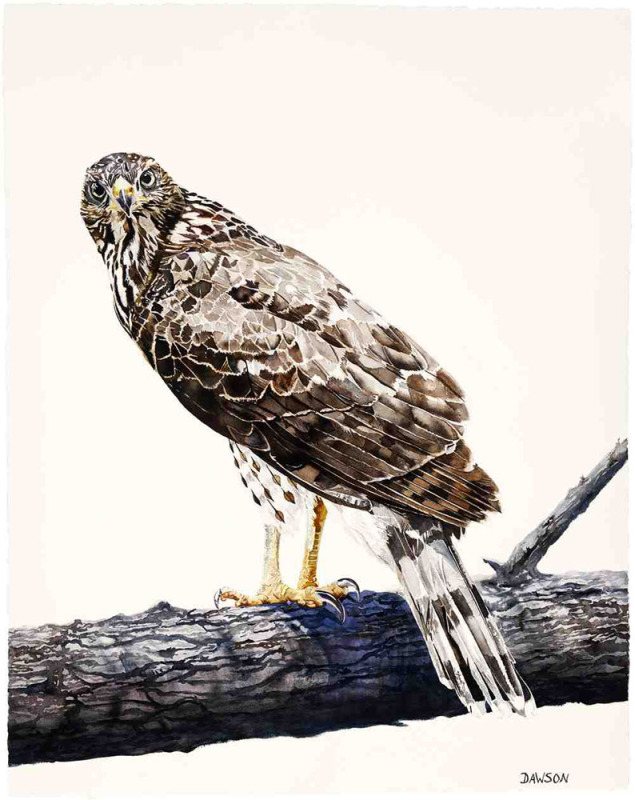 Young Cooper's Hawk on Guard