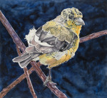 Molting Lesser Gold Finch