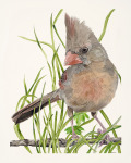 Female Cardinal IV